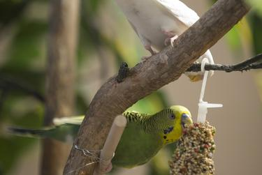 Parakeets peck at a special seed treat bought and hung by A&M employee Dorothy Thompson in the Moore/Connally Building in College Station on Wednesday, Aug. 13, 2019.
