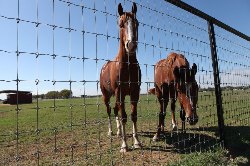 Two racing horses graze Tooter Jordan's New Braunfels, TX ranch on Nov. 9, 2015