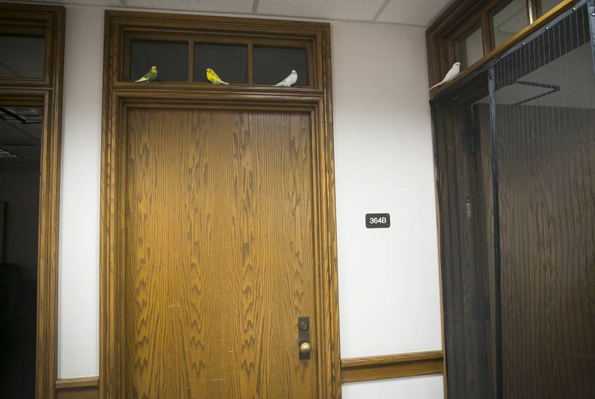 Parakeets perch on moulding on the third floor of the Moore/Connally Building in College Station on Friday, Aug. 9, 2019.