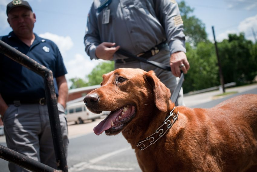 Gus, a contraband detection dog at the the Texas State Penitentiary in Huntsville, performs a demonstration of how to seek out cellphones around the prison. A measure on the Nov. 5 ballot would ensure law enforcement animals like Gus can be adopted by their handlers after they retire.