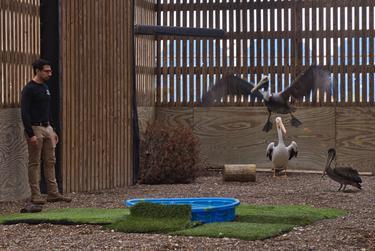 Senior Wildlife Care Specialist Rico Olvera at the Texas State Aquarium Wildlife Rescue flight cage.  Injured birds such as these pelicans are rehabilitated in this area.