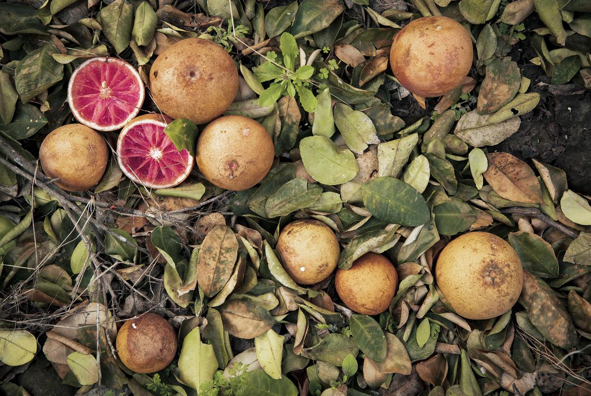 Damaged fruit effected by the recent freeze in the Rio Grande Valley. Feb. 24, 2021.
