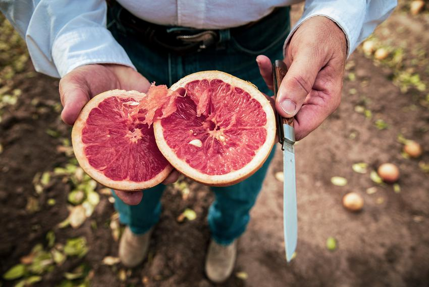 President of Texas Citrus Mutual Dale Murden slices into a fruit affected by the recent freeze. The citrus orchard is locate…