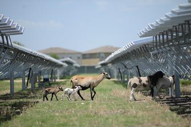Sheep serve as natural lawnmowers at a 4.4-megawatt solar farm in northeast San Antonio on July 8, 2014. The animals' voracious appetites prevent overgrowth at the 45-acre site.