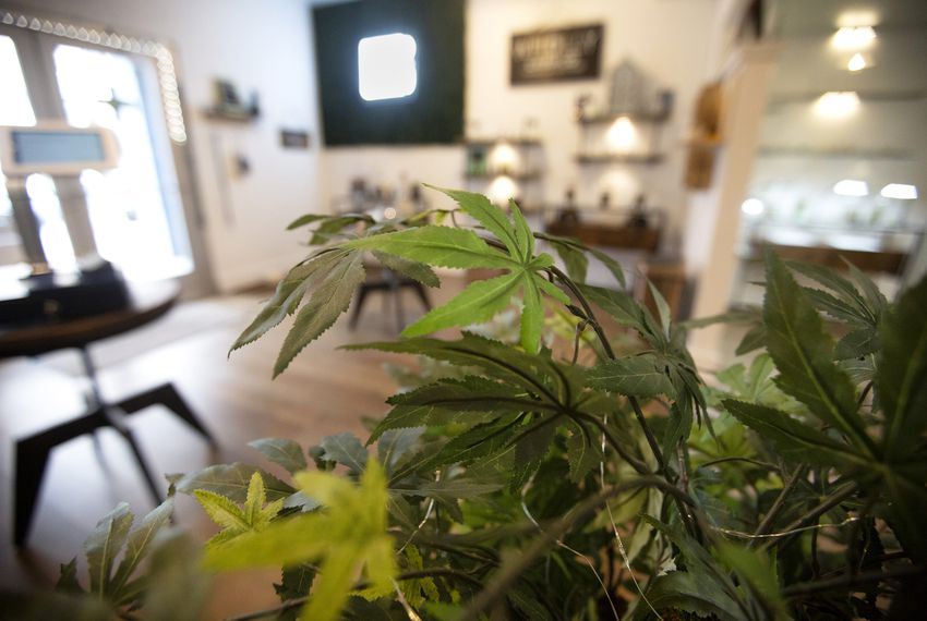 A hemp plant inside of the Custom Botanical Dispensary in Austin. Stores selling CBD products are popping up across Texas.