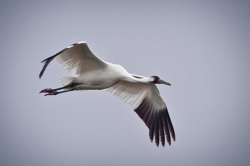 Whooping Crane in flight in Texas.