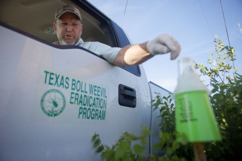 Field Unit Manager Stephen Daniel of the Texas Boll Weevil Eradication Program checks a boll weevil trap located adjacent to a cotton field in Mustang Ridge, Texas, Aug. 14, 2013.  Daniel uses a TBWEP pickup truck as a mobile office where he weekly checks dozens of traps for the pest insect outside of Austin.