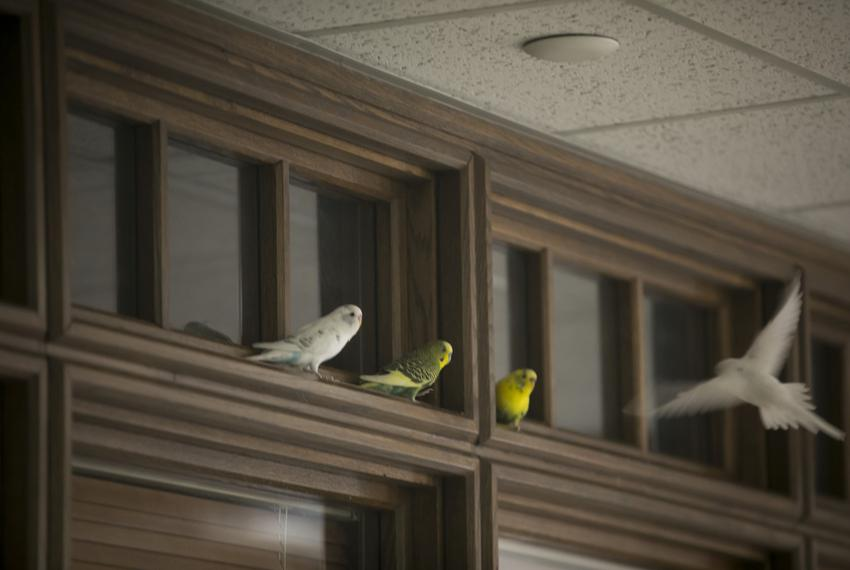 A parakeet approaches a landing on a door moulding on the third floor of the Moore/Connally Building in College Station on F…