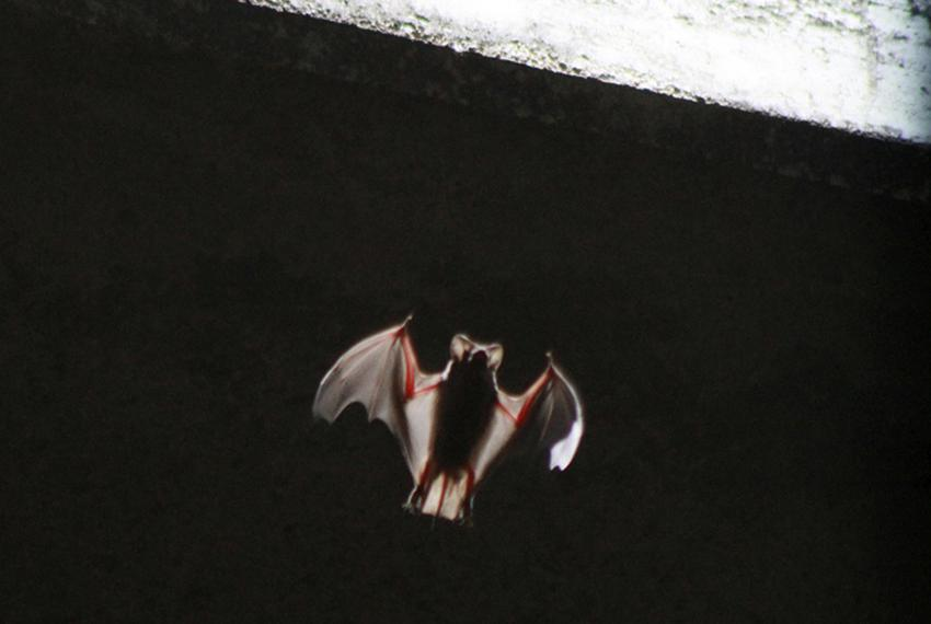 A bat emerging from below the Congress Street Bridge near downtown Austin on July 27, 2011.
