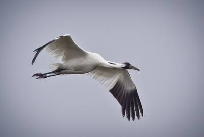Whooping Crane in flight.