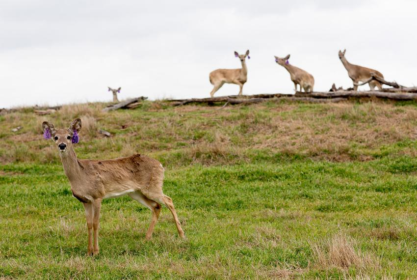 Deer on Trophy Ranch, Ltd. in Terrell, Texas.