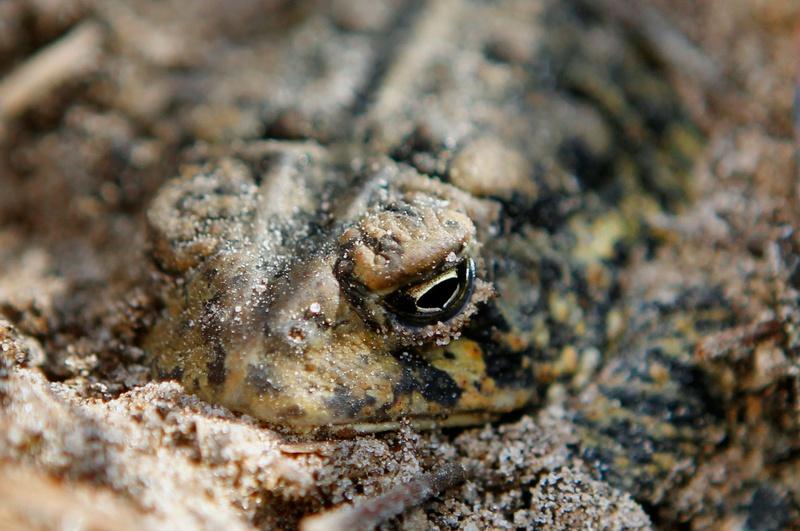 The Houston toad, an endangered species found around Bastrop.