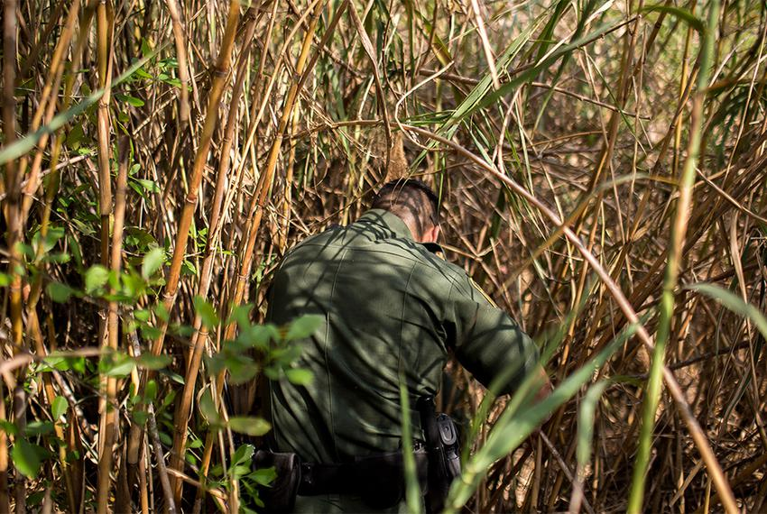 Border Patrol Agent Isaac Villegas makes his way through Carrizo cane, an invasive plant species that lines the banks of the…