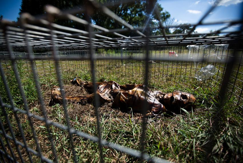 Researchers study the decay of human corpses  at the 26-acre outdoor human decomposition laboratory run by the Forensic Anth…