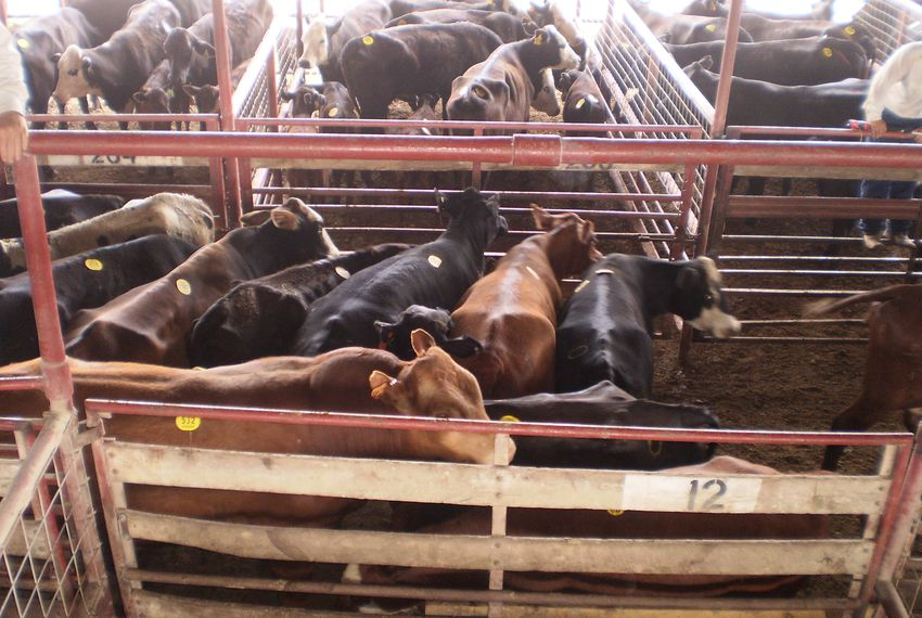 Cattle waiting to be sold at Lockhart Auction