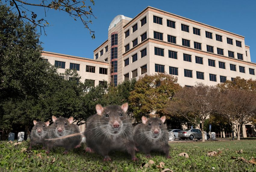 Texas Health Regulators Overrun By Several Hundred Rats At Austin