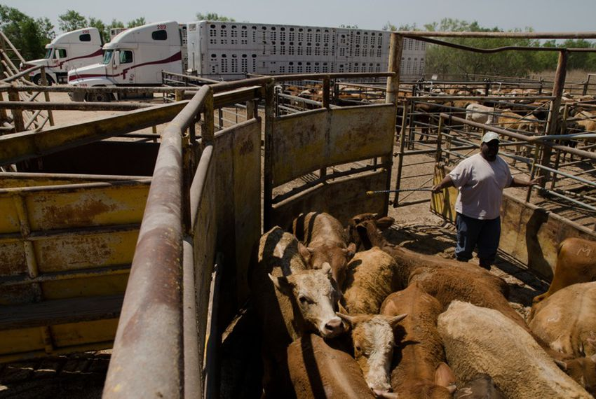 Federal USDA workers inspect Mexican cattle for fever ticks before admitting them into the country. If a single tick is found, the entire herd must be quarantined and sent back to the rancher.
