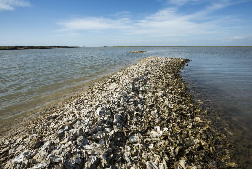 Oyster shells along the Gulf Intracoastal Waterway.  An oyster restoration project is underway in Matagorda Bay.