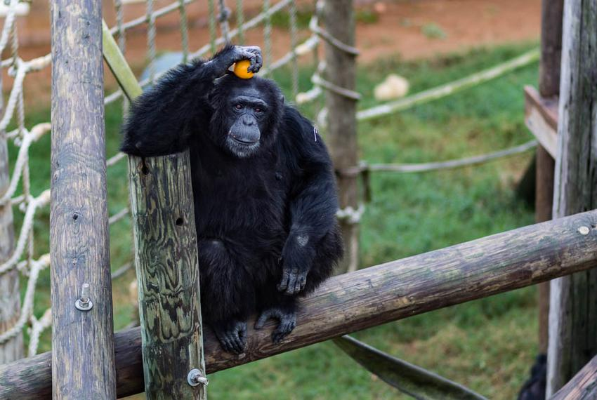 In November, the National Institutes of Health announced it would no longer support biomedical research on chimpanzees, wh...