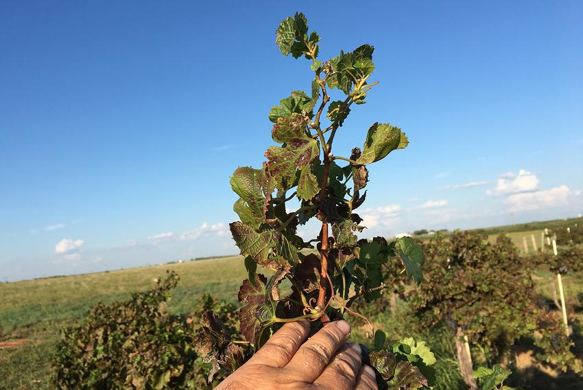 In his vineyard, Bobby Cox uses hand-for-scale to show how long his grape leaves should actually be. Chemical damage from ...