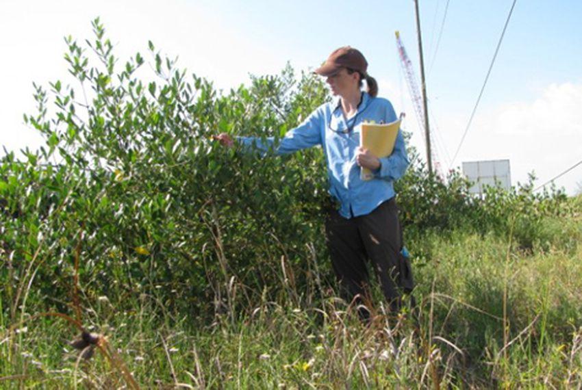 Texas A&M University scientist Anna Armitage looks at a mangrove shrub on Pelican Island along the Texas coast.