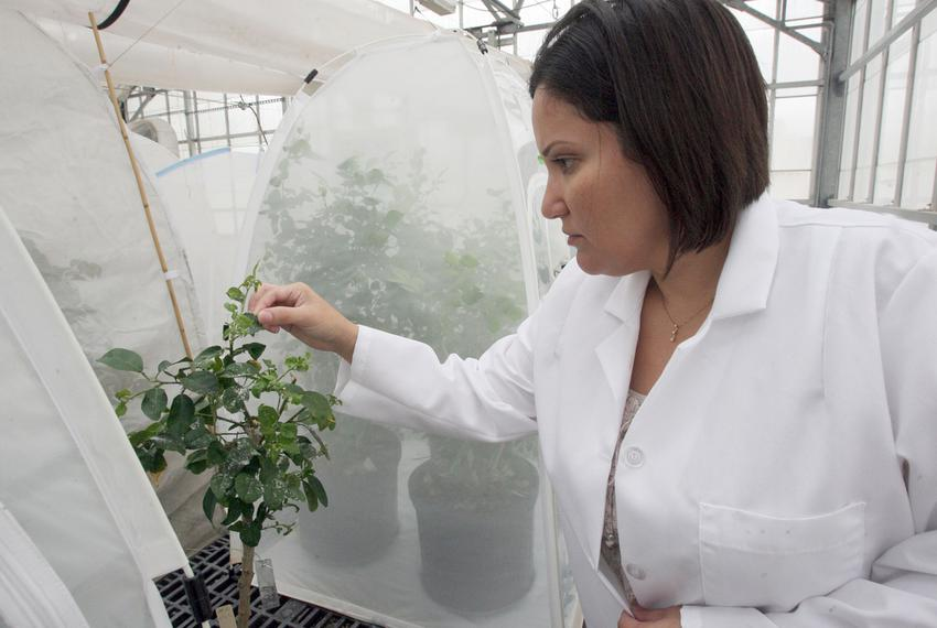 Deanna Chapa, a molecular biologist, researches the psyllid disease on young citrus plants in a greenhouse on Tuesday, Oct. …