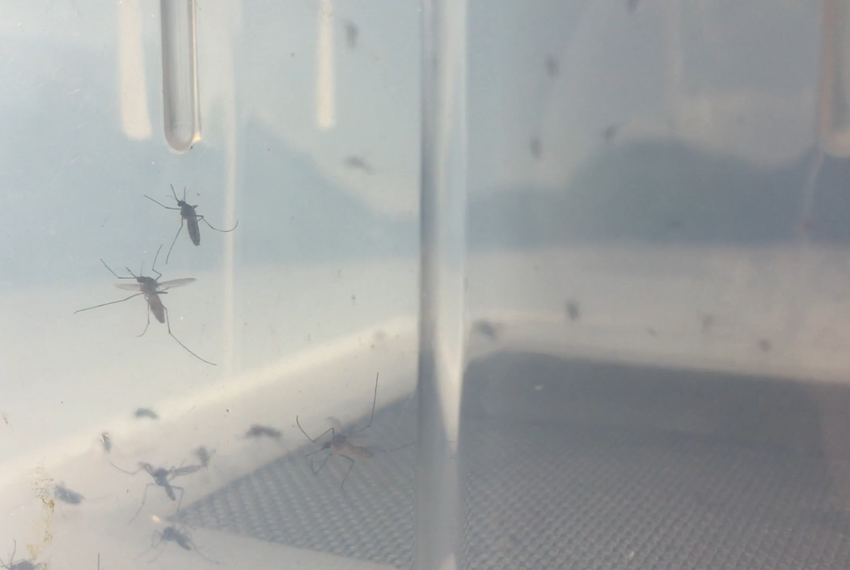 Aedes aegypti mosquitos, carriers of the Zika virus.