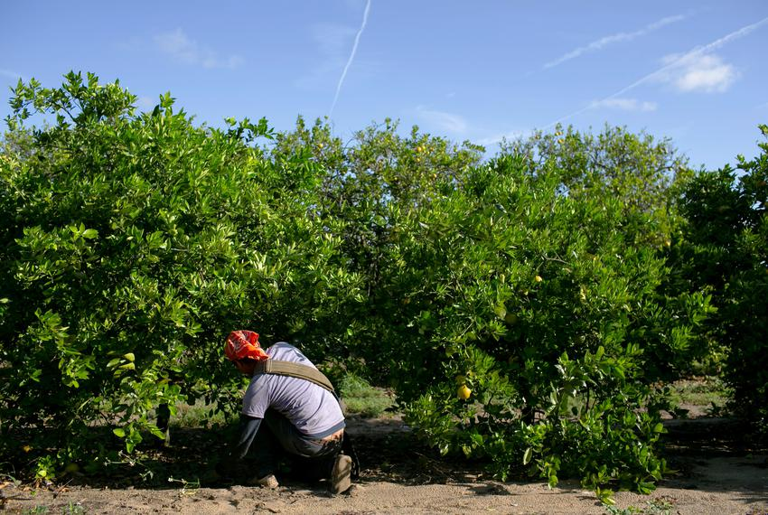 A Mexican migrant worker collects oranges during a harvest at a farm Florida. April 1, 2020.