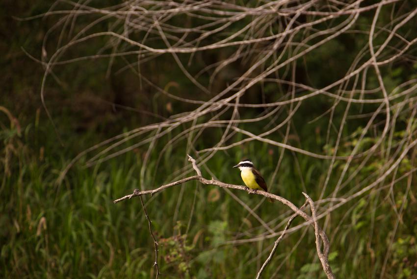 A Kisskadee perches at Resaca de la Palma, a World Birding Center Texas state park. Birding tourism, a huge industry in th...