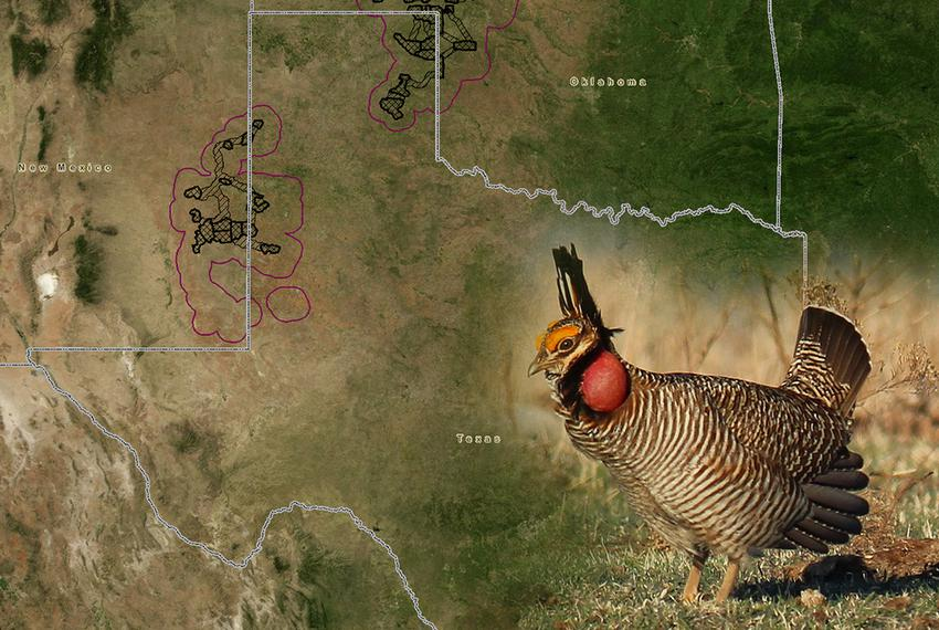 The lesser prairie chicken roams in the circled areas above, according to research by state environmental officials and sc...