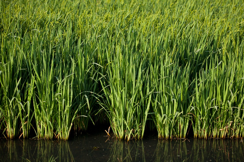 A rice field near Bay City, Texas.