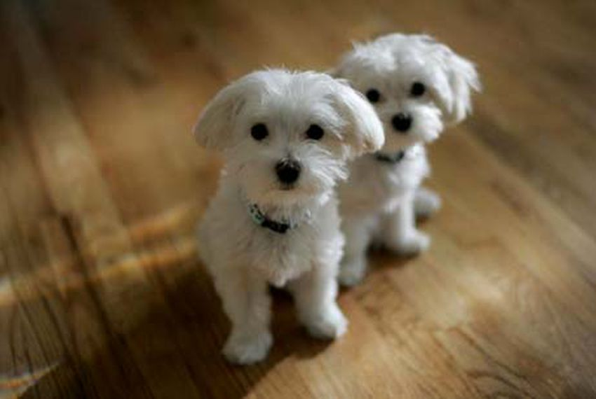 Texas Dog Breeders Fret That State Lawyer Is Mole | The