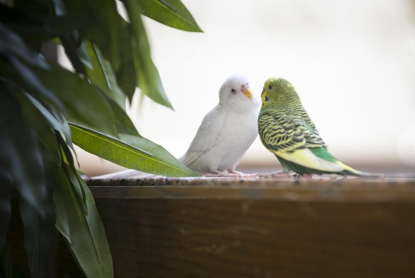 Two parakeets greet each other in the Moore/Connally Building in College Station on Friday, Aug. 9, 2019.
