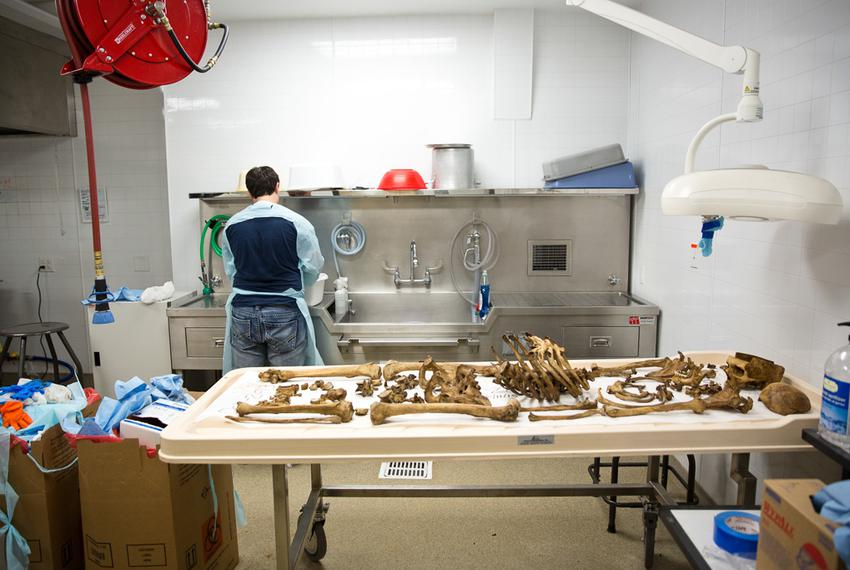Senior Eastman Barnard processes a cranium after the body has decomposed at the Texas State facility on Freeman Ranch.