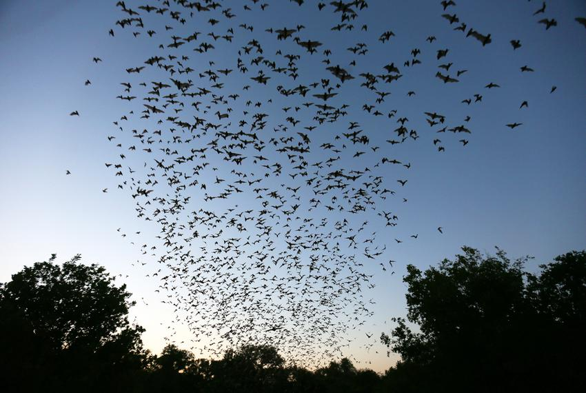 Bracken Cave, just north of the burgeoning San Antonio metropolitan area, has been home to the largest colony of bats in t...