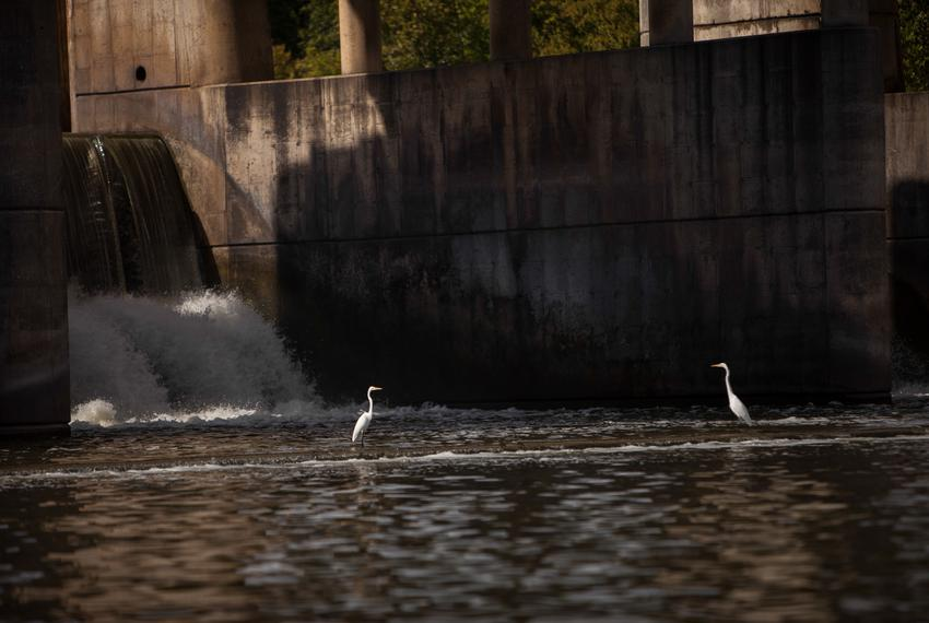 Egrets are shown near Longhorn Dam in the Colorado River. Dependents on the river like fishermen and coastal rice farmers ha…