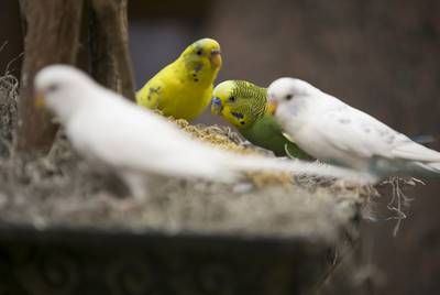 Parakeets peck at a millet treat provided by Dorothy Thompson, otherwise known as the