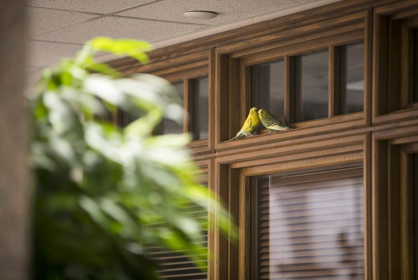 A pair of parakeets perch on moulding on the third floor of the Moore/Connally Building in College Station on Friday, Aug. 9…