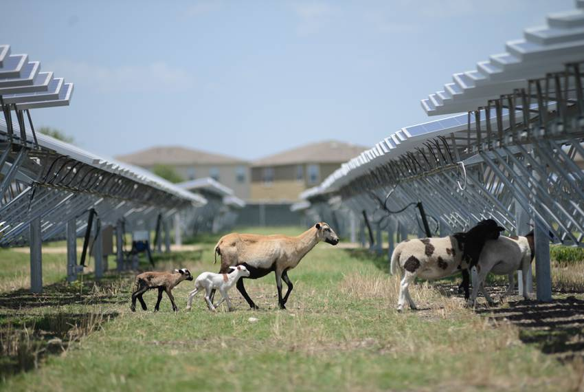 Sheep serve as natural lawnmowers at a 4.4-megawatt solar farm in northeast San Antonio on July 8, 2014. The animals' vora...