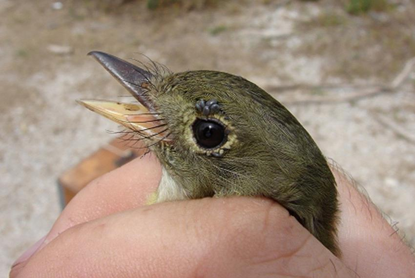 An Acadian Flycatcher with larval neotropical ticks around its eyes.