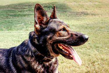Olex, a 3-year-old German Shepherd, works for the Collin County Sheriff's Department as a patrol and narcotics detection dog with his handler, Deputy Sheriff Reid Golson.