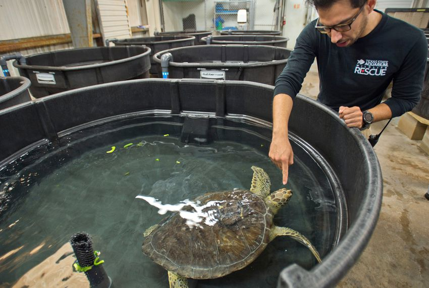 Rico Olvera, a senior wildlife care specialist at the Texas State Aquarium, checks on a green sea turtle who is recovering from a surgery that removed several tumors. The turtle, housed at the aquarium's Wildlife Rescue Center, also was injured after being hit by a boat's propeller.