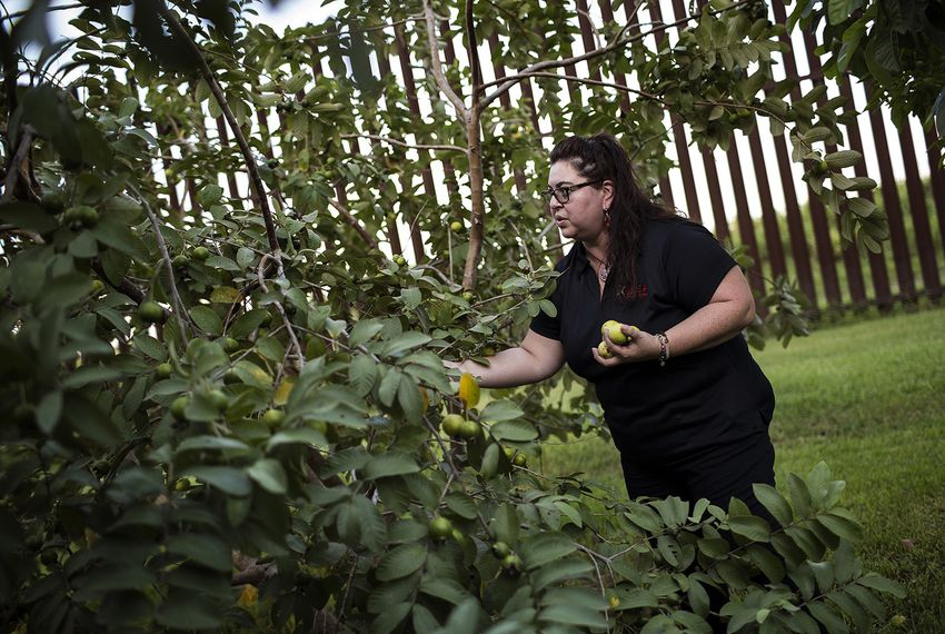 Melissa Solis picks guavas behind her family home on Oklahoma Avenue in Brownsville in August 2017. The federal government built the border fence about 40 feet from her family's home, but because it's not on their property they didn't receive compensation.