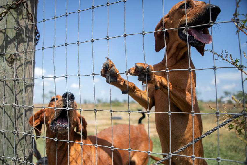 Bloodhounds are held in a pen in Refugio on Aug. 21, 2019. The dogs are trained to use scent in the capture of criminals and…