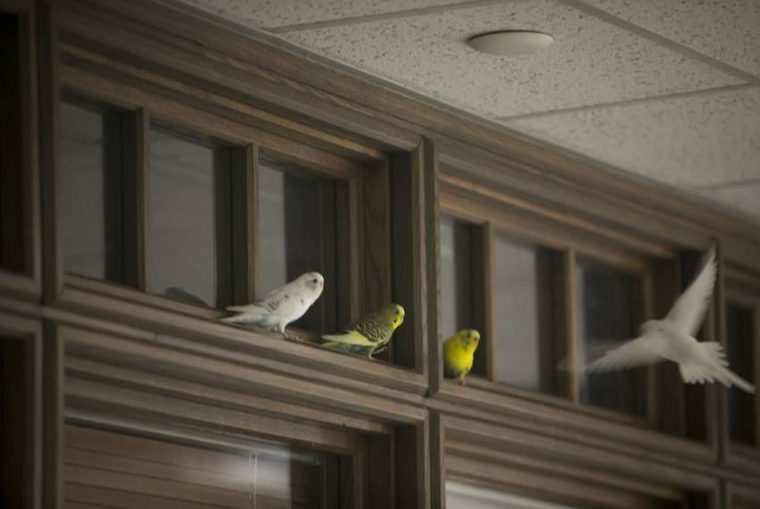 A parakeet approaches a landing on a door moulding on the third floor of the Moore/Connally Building in College Station on Friday, Aug. 9, 2019.