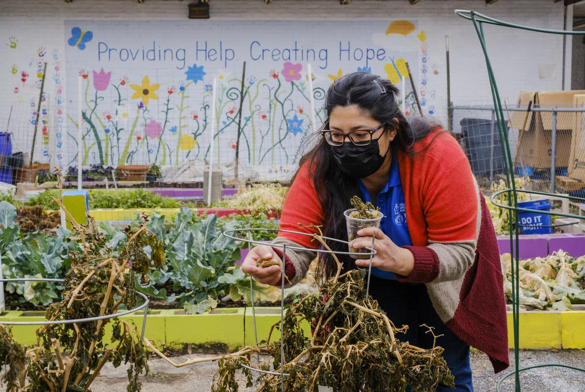 Anna-Lisa Esquivel, project coordinator at the senior program at Catholic Charities, picked through plants and vegetables that were lost during the winter storm at the sites' community garden in San Antonio on Feb. 25, 2021.
