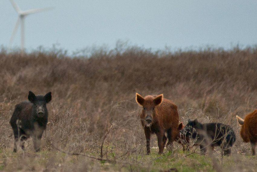 Senate Approves Pork Chopper Bill The Texas Tribune