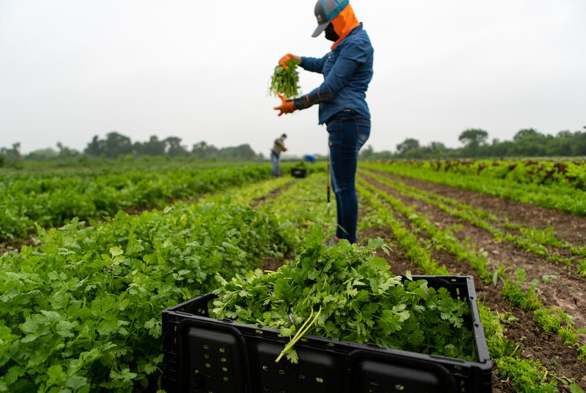 Maria Romero, age 45, wears a mask and gloves as she harvests cilantro. Romero works for Johnson's Backyard Garden, an org...