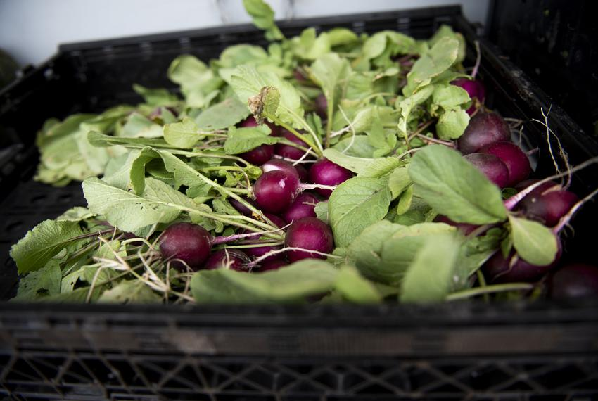 Radishes from a garden at the We Over Me farm at Paul Quinn College, an initiative started by the Michael Sorrell on Nov. 11…
