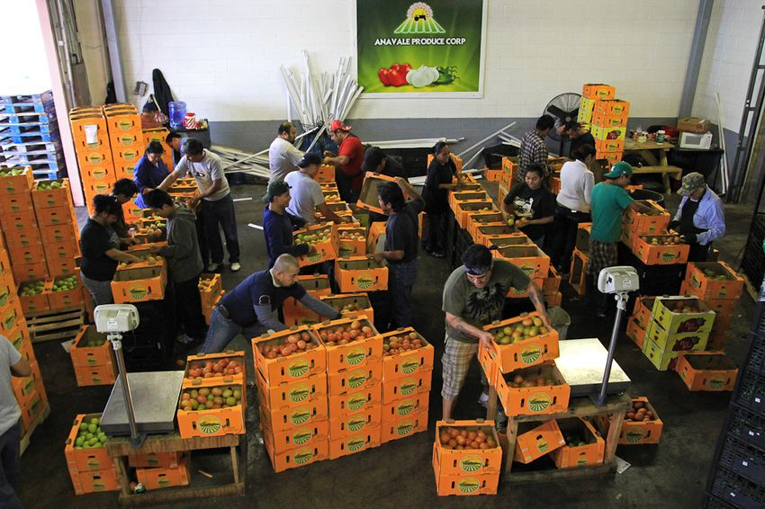 Employees at Ana Vale Produce sort tomatoes for shipment. The produce comes from the Comarca Lagunera region of Mexico.